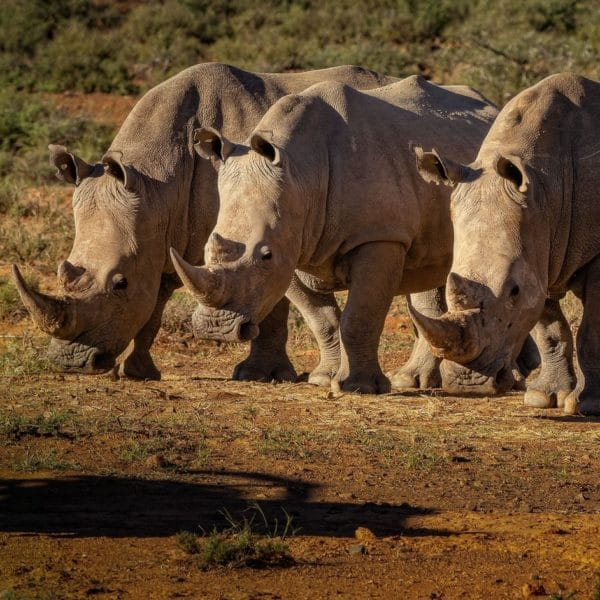 Rhinos-square-600x600